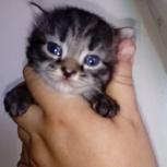 Котята с голубыми глазами, Новосибирск