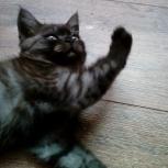 шотландский котенок девочка, Новосибирск