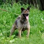 Отдам в добрые руки собаку Алису, Новосибирск