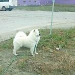 Шикарный жених щенок самоеда, Новосибирск