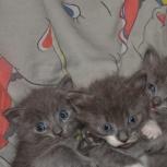 Продам полубританских котят, Новосибирск