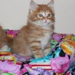 Кошка нежная дикарочка, Новосибирск