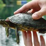 Красноухая черепаха 3 года, Новосибирск