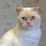 Голубоглазая кошка Фиалочка, Новосибирск