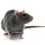 Дератизация / от крыс и мышей, Новосибирск