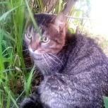 Крупный кот Тимофей 1,5года,кастрат в ч/дом, Новосибирск