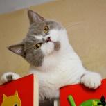 Британский котик-подросток лиловый биколор, Новосибирск