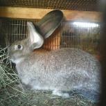 Кролики великаны, Новосибирск