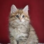 Клубные котята курильского бобтейла, Новосибирск