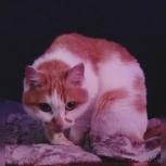 Миниатюрная тихая кошка Веснушка из приюта «Надежда», Новосибирск