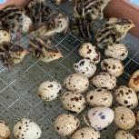 Перепела, инкубационное яйцо, пищевое яйцо, мясо., Новосибирск