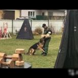 Вязка Кобель 21 мес. IPO - 1, IPO-2, Новосибирск