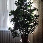 Продаю цветок Фикус Бенджамина 1,7м, Новосибирск
