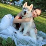 Щенок хаски !!! мальчик !!!  С безупречной родословной!, Новосибирск