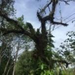 спил деревьев, Новосибирск