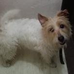 Найдена молодая собачка, помесь с болонкой, Новосибирск