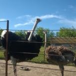 Экскурсия на страусиную ферму, Новосибирск