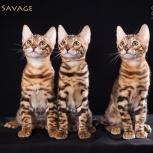 Бенгальские котята от родителей чемпионов, Новосибирск