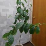 Мандариновое дерево., Новосибирск
