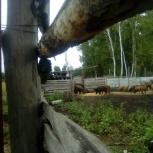 Продам поросят дикого кабана, Новосибирск