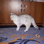Продаём  кошечку 6мес.шотландцка скоттиш срайт., Новосибирск