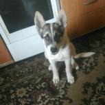 Красивый щенок ищет дом, Новосибирск