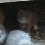 Отдам котят в добрые руки, Новосибирск