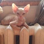 Продам котят сфинкса, Новосибирск