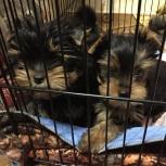 Шикарные щенки-йорчики с отличной родословной, Новосибирск