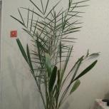 Пальма финиковая, Новосибирск