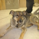 Собака Найда на охрану дома, Новосибирск