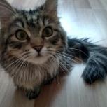 Сибирская кошка Пушинка, Новосибирск