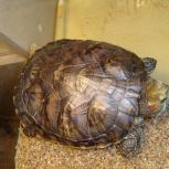 Отдам даром красноухую черепаху, Новосибирск