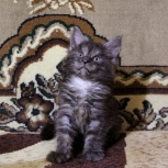 Котята мейн-куна, Новосибирск