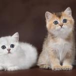 Британские серебристые и золотые  котята, Новосибирск