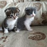 Продам котят шотландской вислоухо, Новосибирск