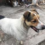 Крупный красивый пес Атас 2.5 года, хозяева умерли ищет дом, Новосибирск