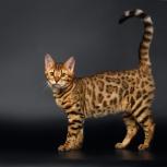 Бенгальские котята., Новосибирск