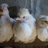 Цыплята мясо-яичных пород, Новосибирск