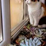 Потерялась трёхцветная кошка в с.Каменка!, Новосибирск