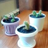 Продам кактусы, в новых пластмассовых горшочках, укоренённые, Новосибирск