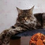 Кот мейн-кун черный мраморный приглашает на вязку, Новосибирск