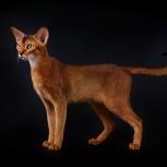 Абиссинская кошка, Новосибирск