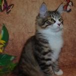 Продается котенок, девочка курильского бобтейла, Новосибирск