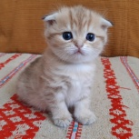Золотой Шотландский котенок, Новосибирск