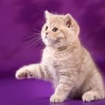 Британские леди  -  котята, Новосибирск