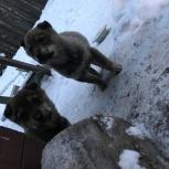 Отдам в добрые руки щенков лайки!!!, Новосибирск
