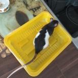 Крысы девочки парой, Новосибирск