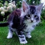 Котята Мейн кун, Новосибирск