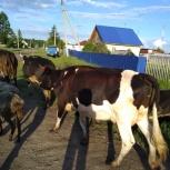 Продам корову., Новосибирск